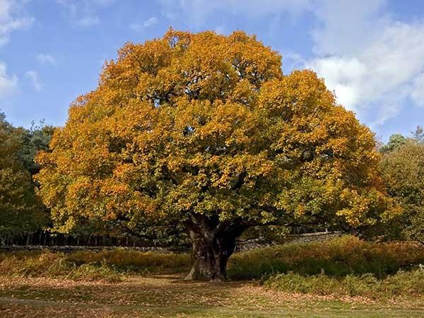 mustard-tree-pic